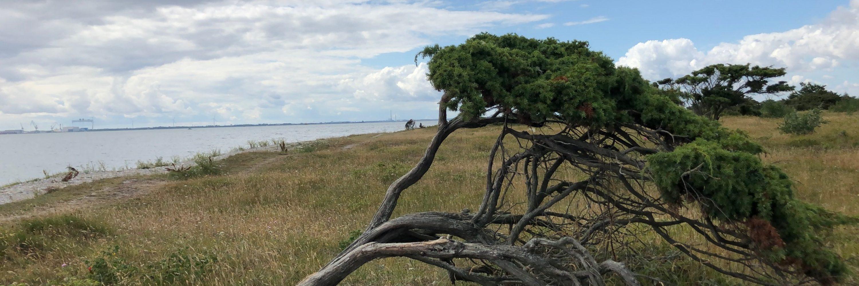 vindblæst træ